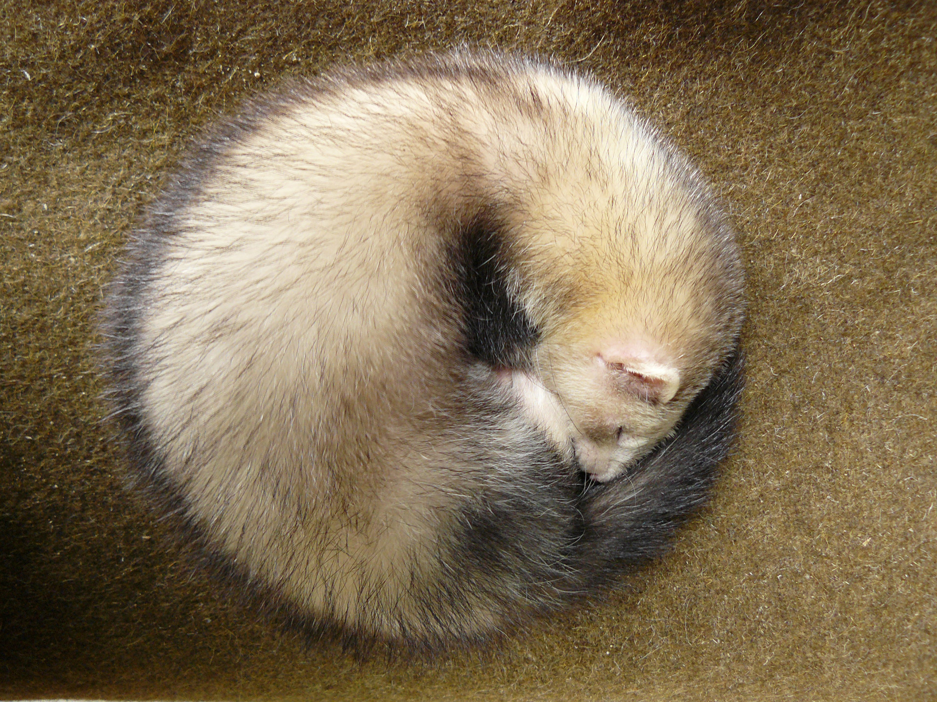 Ferret curled into a ball
