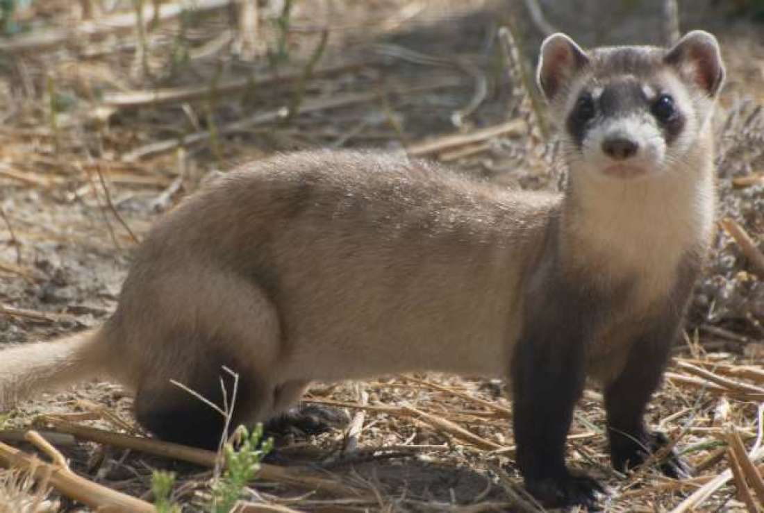 Black-Footed Ferret Standing in its Habitat