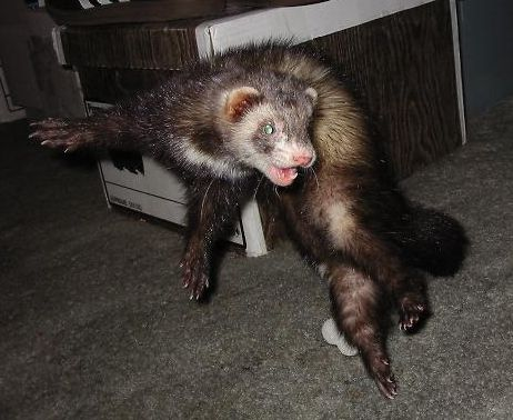 Ferret in a fighting stance